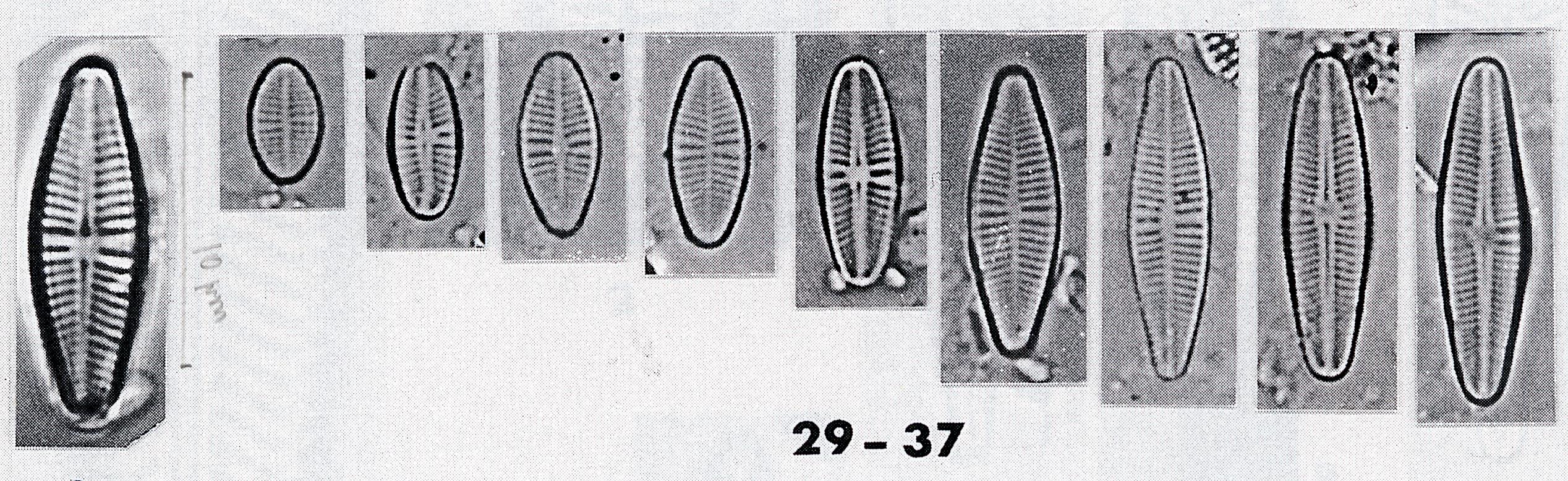 Achnanthes eutrophila orig illus