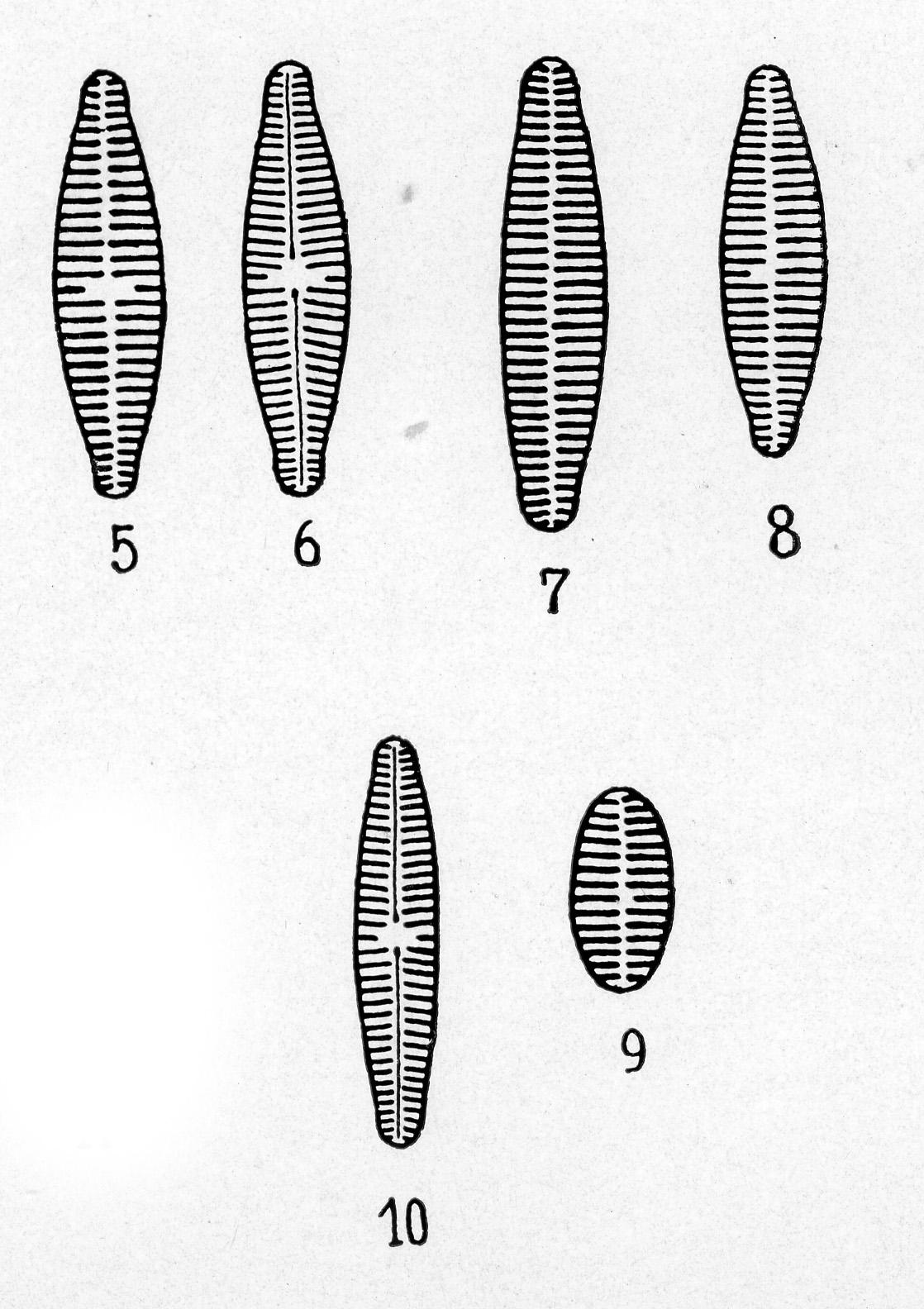 Achnanthes pyrenaica orig illus