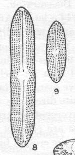 Navicula pseudosilicula var. olympica orig illus