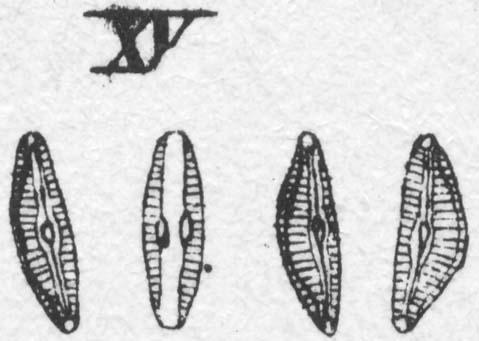 Cymbella affinis orig illus