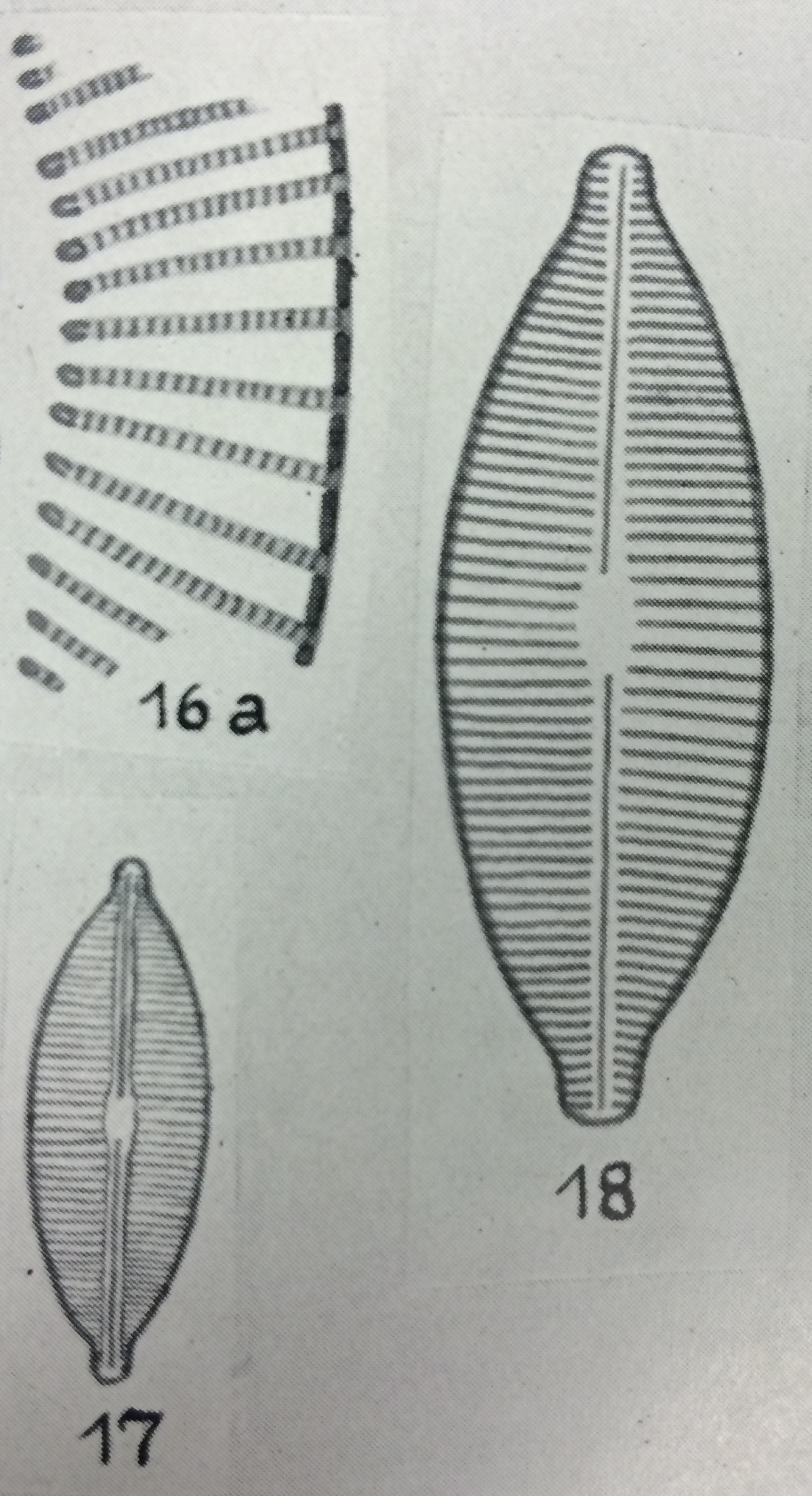 Navicula accomoda orig illus