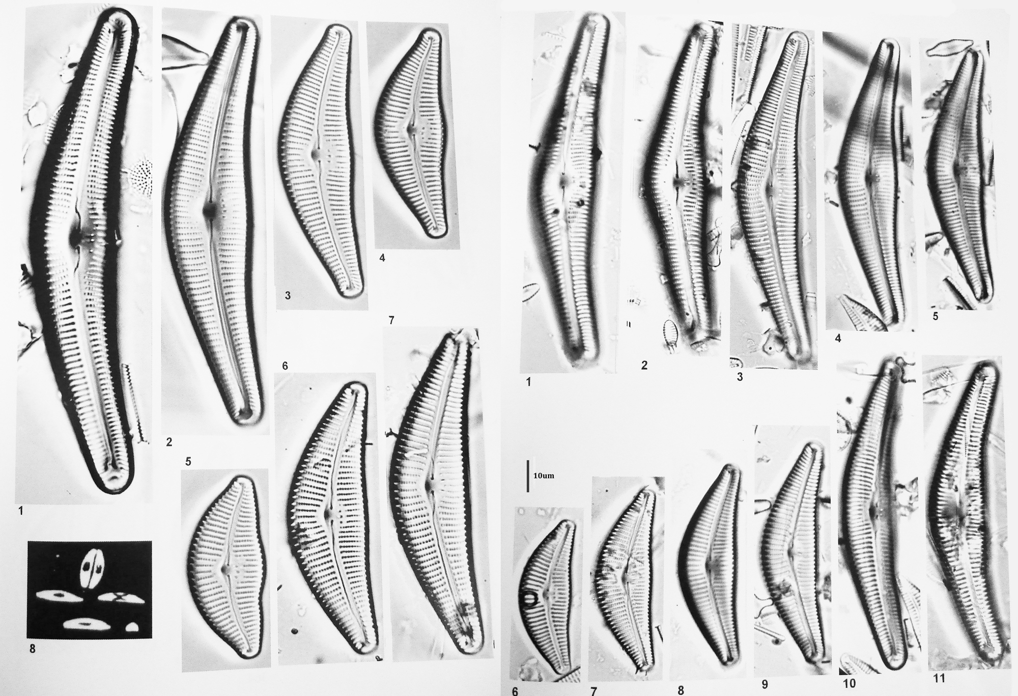 Cymbella neocistula orig illus