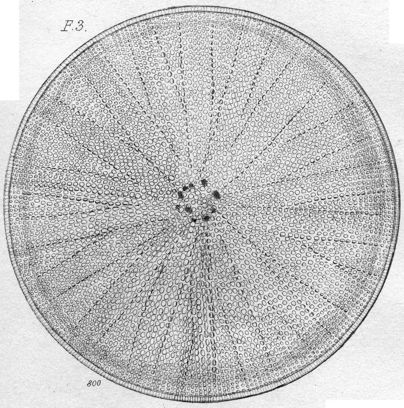 Coscinodiscus normanii orig illus