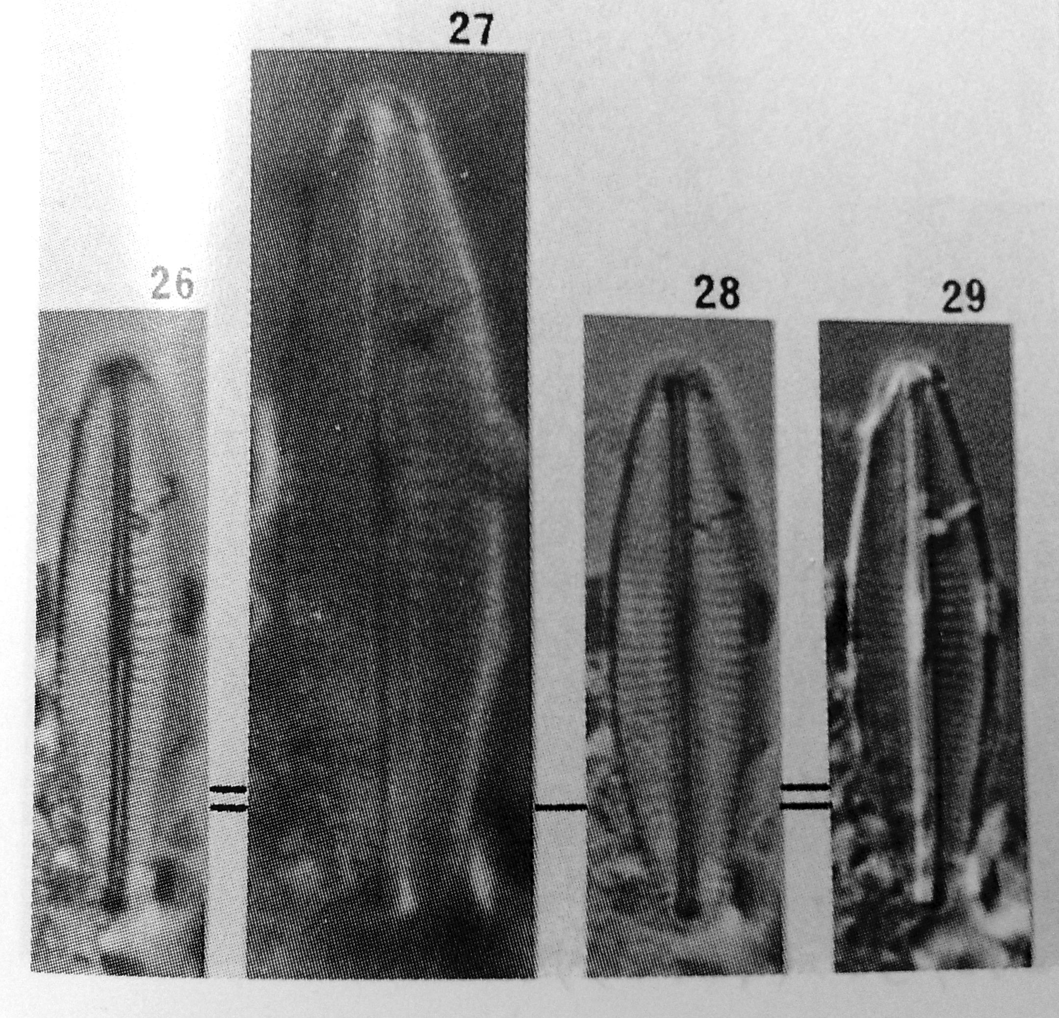 Navicula molestiformis