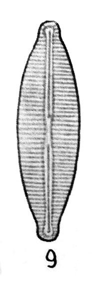 Navicula molestiformis orig illus