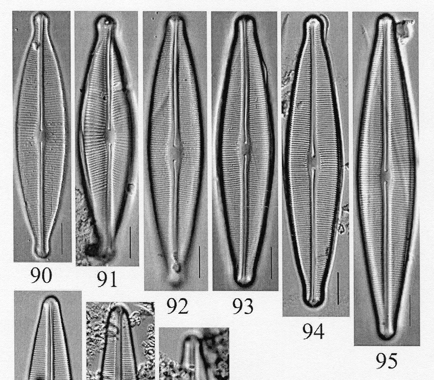 Craticula johnstoniae orig illus