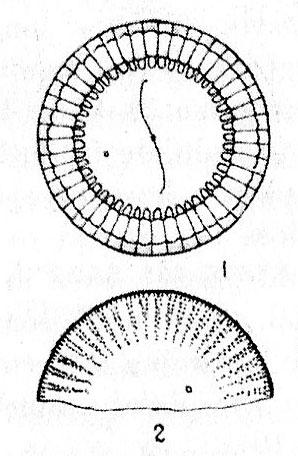 Cyclotella gamma orig illus