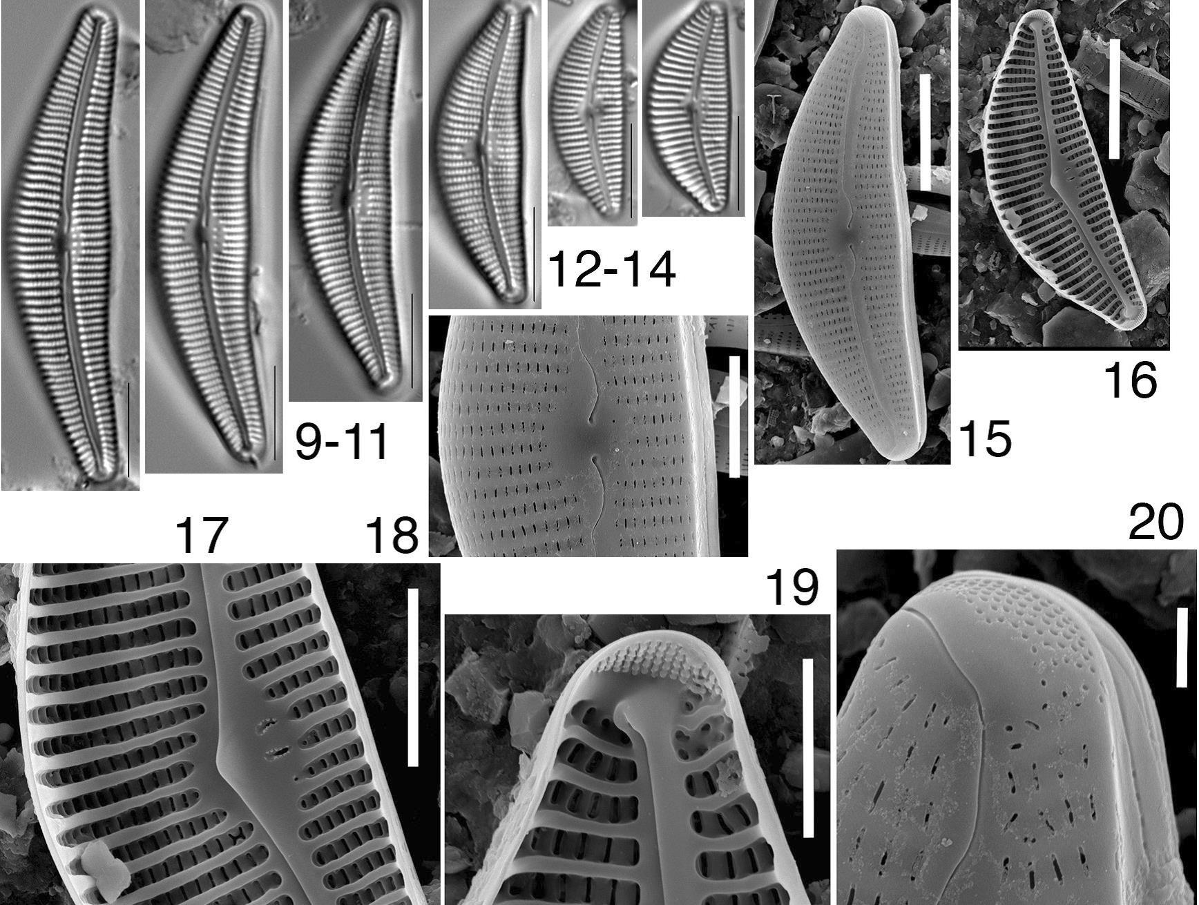 Cymbella blinnii orig illus