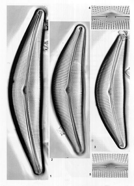Frustulia lanceolata orig illus