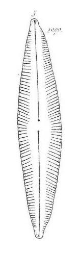Cymbella stodderi orig illus