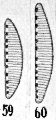 Cymbellonitzschia diluviana orig illus 2