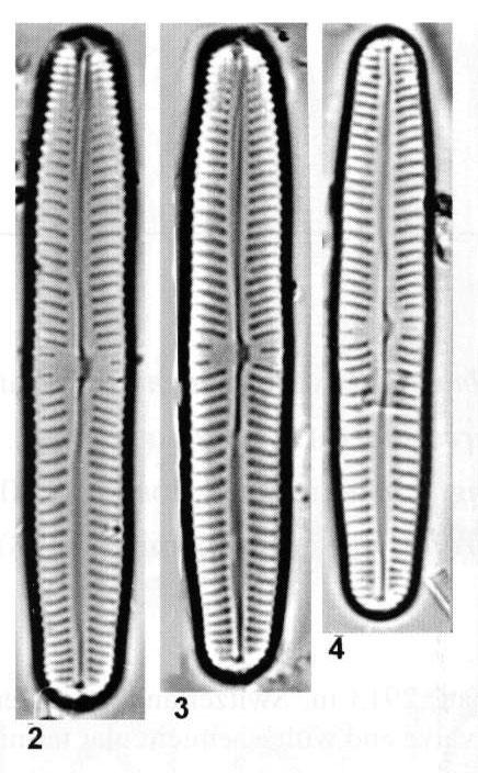 Cymbopleura oblongata orig illus 2