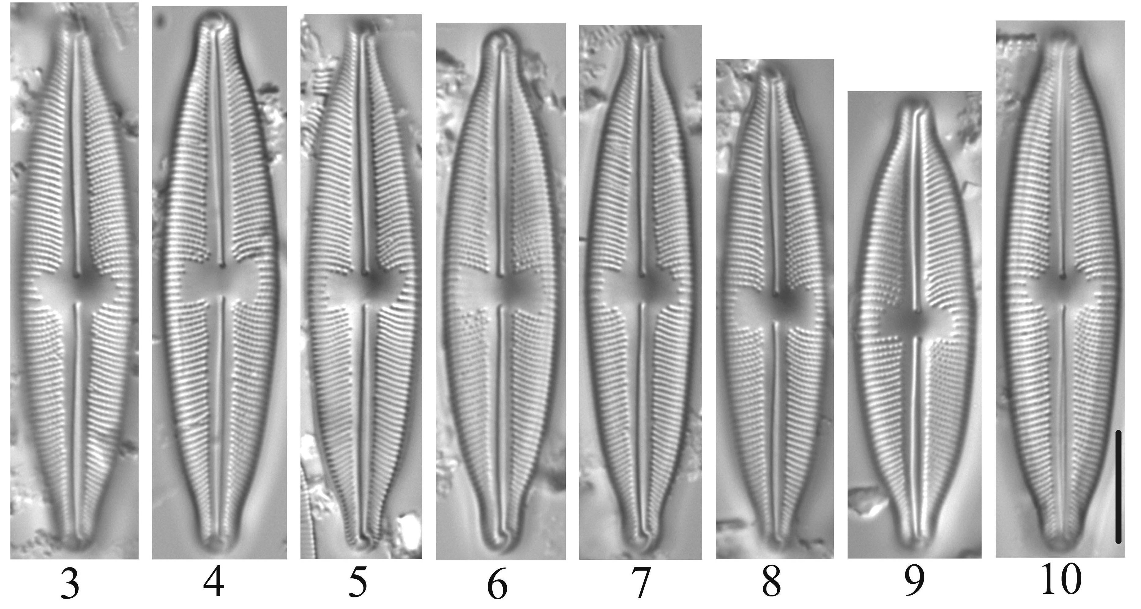 Cymbopleura Laszlorum Orig Imag 1