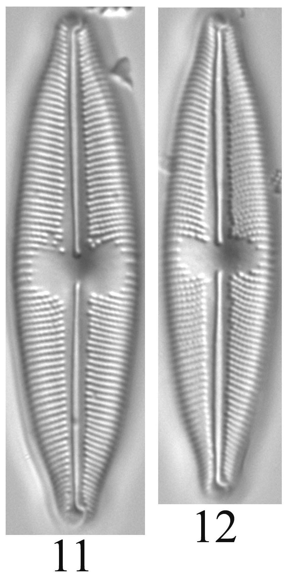 Cymbopleura Laszlorum Orig Imag 2