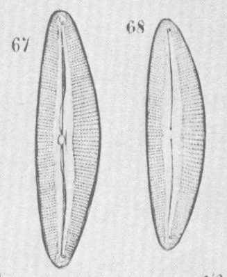 Cymbopleura austriaca orig illus 2