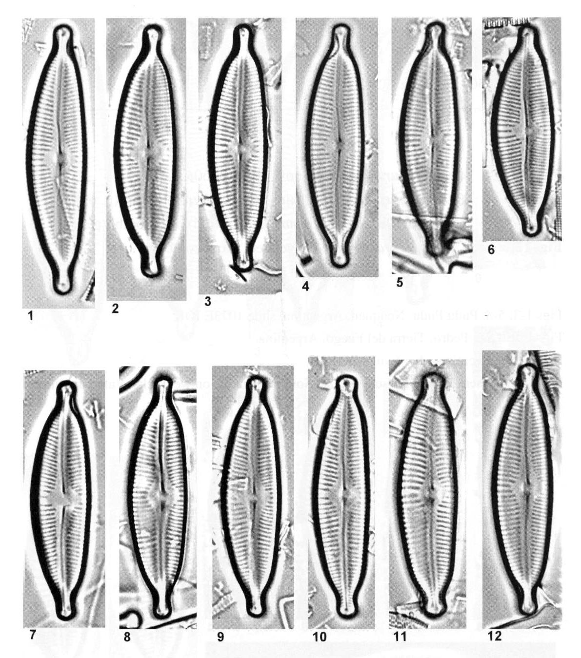 Cymbopleura sublanceolata orig illus 2