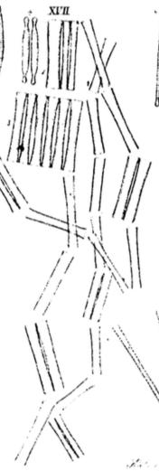Diatoma ehrenbergii orig illus