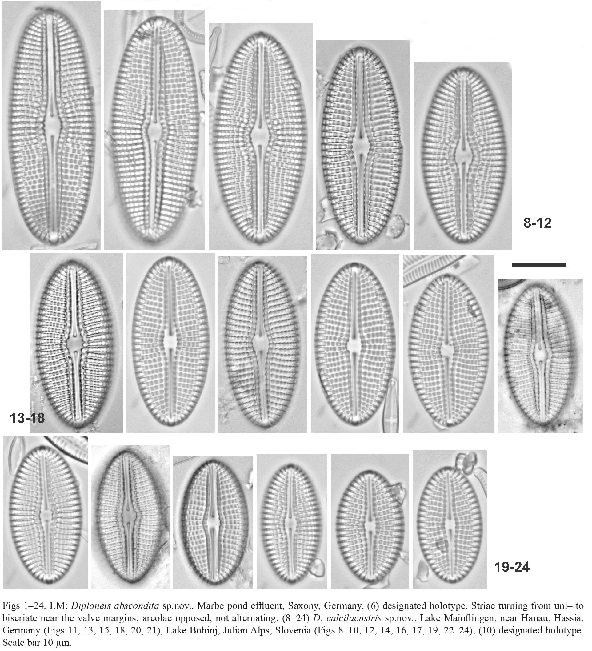 Diploneis Calcilacustris Orig Illus