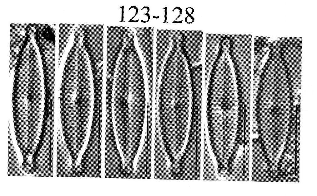Encyonopsis medicinalis orig illus