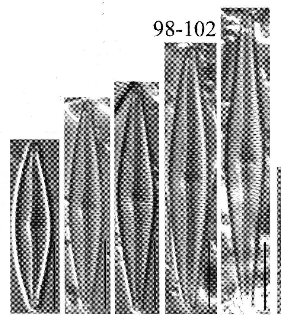Encyonopsis stafsholtii orig illus