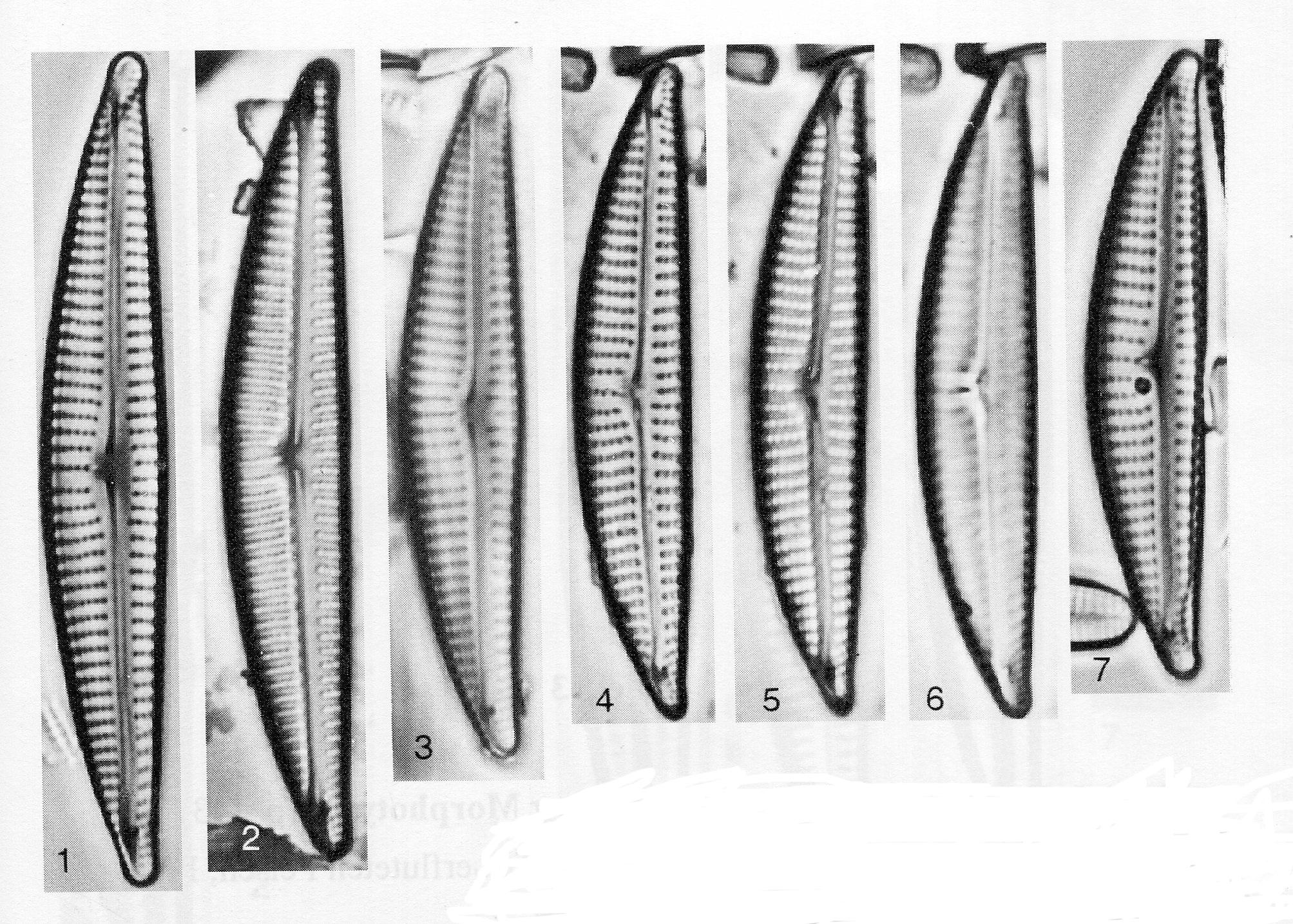 Encyonema neogracile orig illus 2