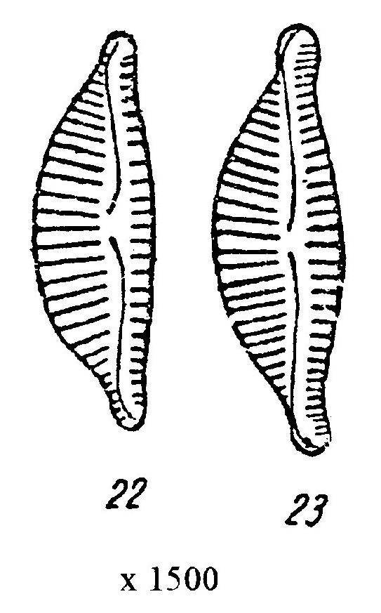 Encyonema obscurum orig illus 2