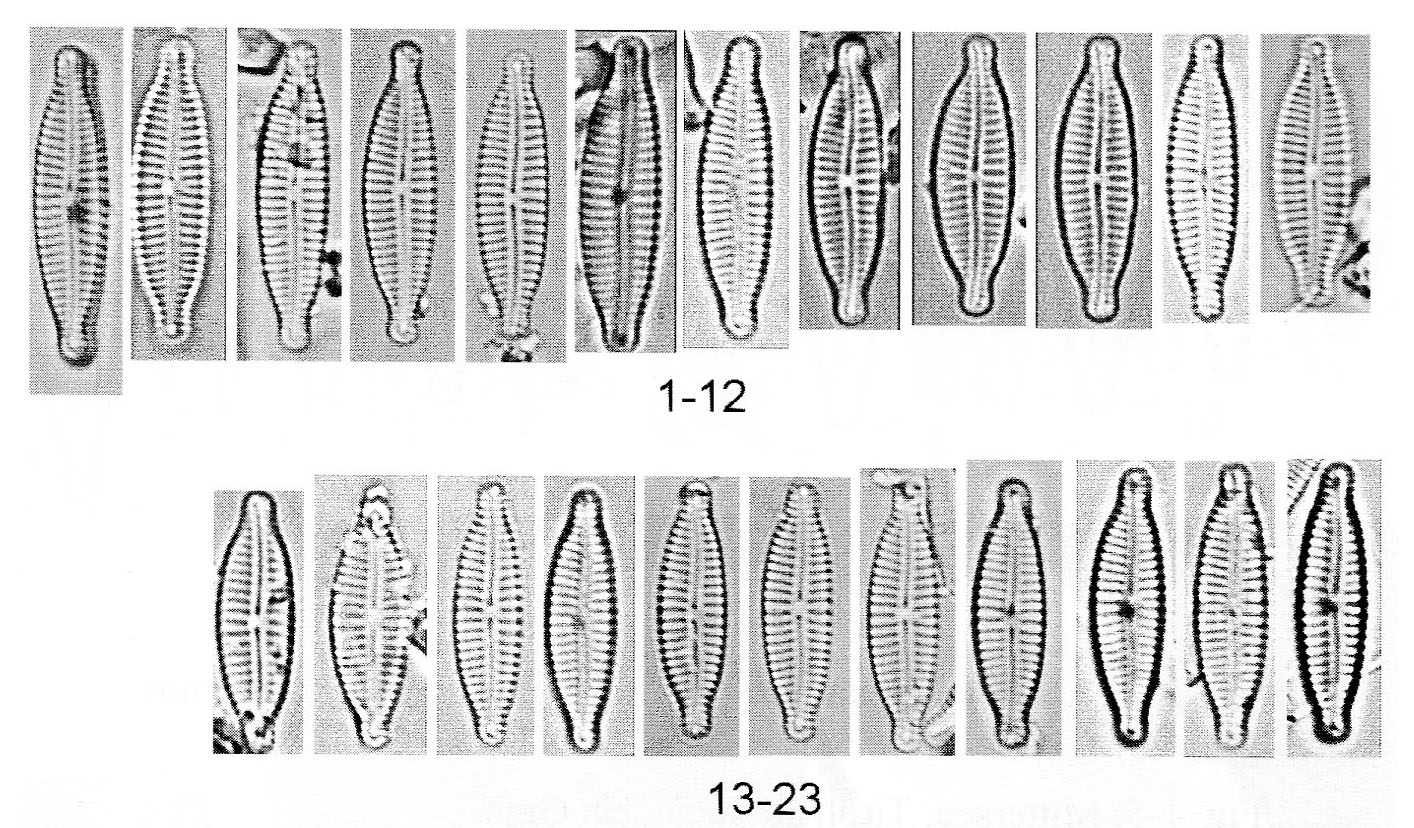 Encyonopsis Minuta Origimag014