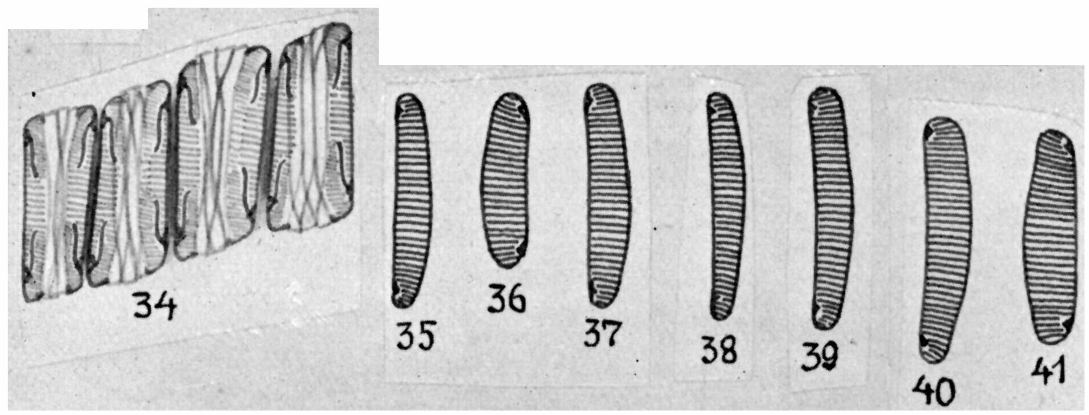 Eunotia rhomboidea orig illus