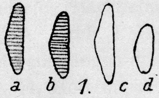 Eunotia trinacria orig illus