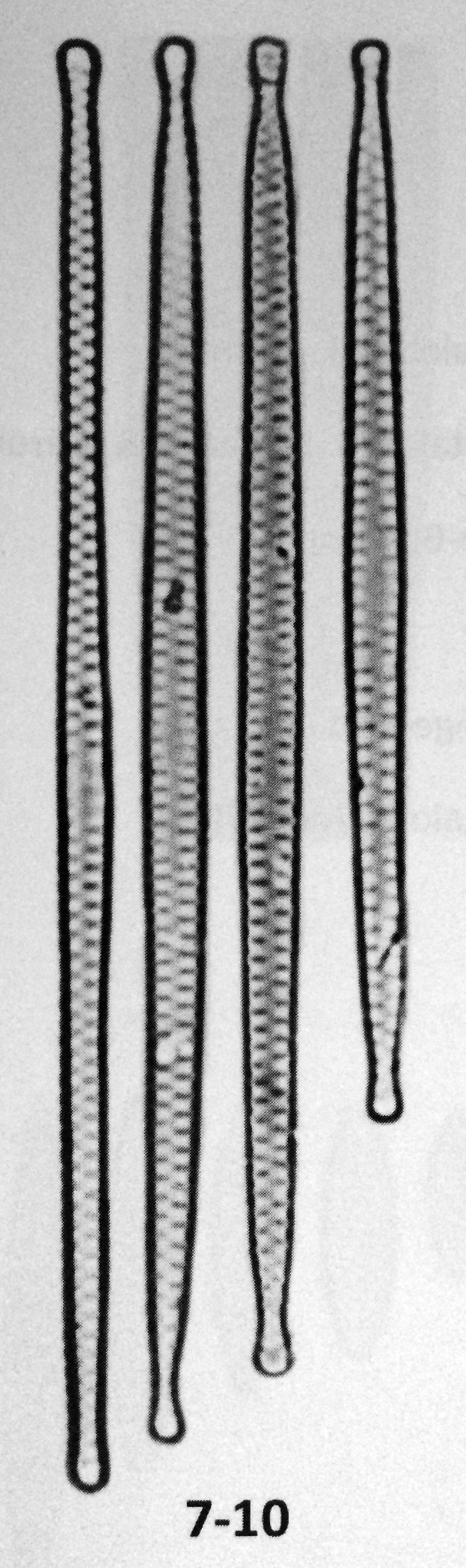 Fragilaria amphicephaloides orig illus