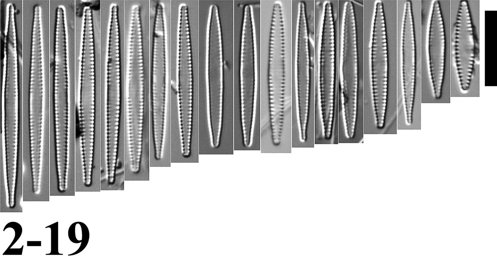 Fragilaria pennsylvanica orig illus