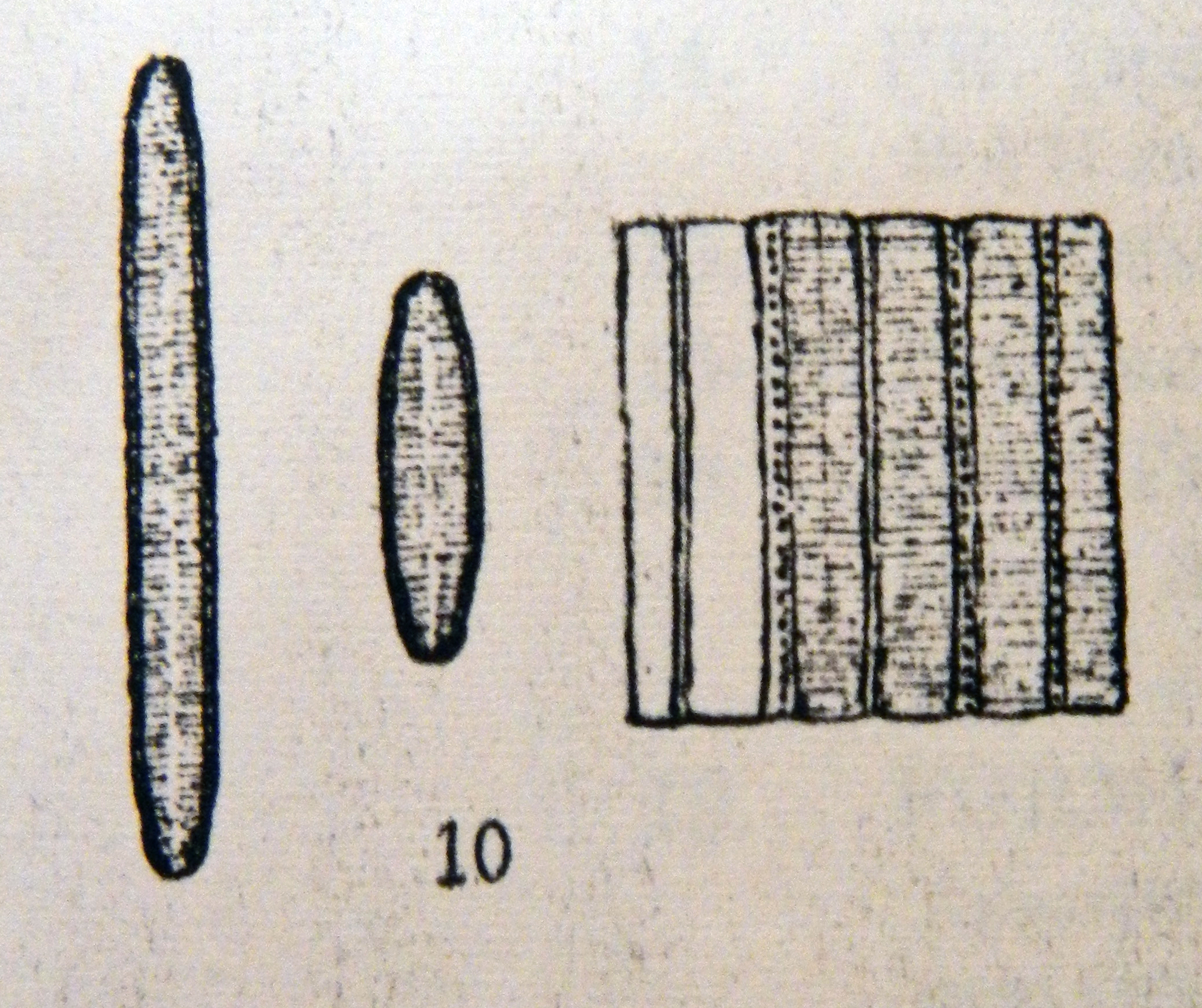 Fragilariforma nitzschioides orig illus