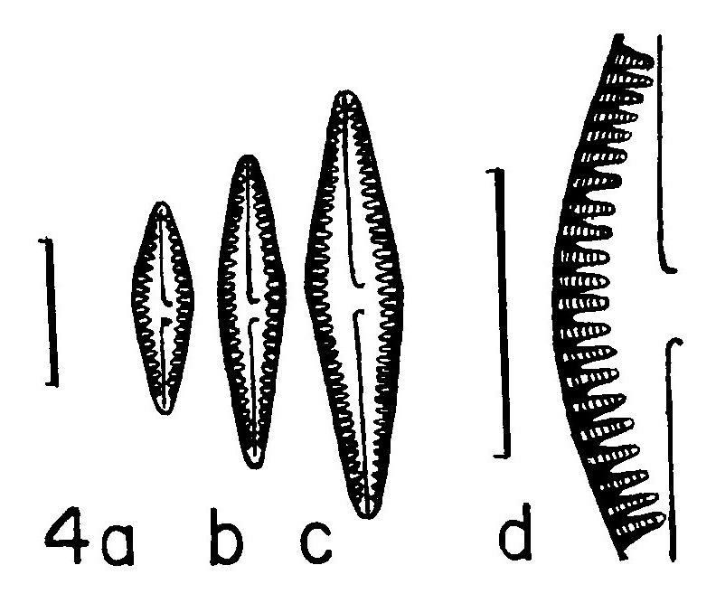 Gomph Louisiananum Origimag002