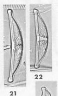 H Oligotraphenta  Lange  Bertalot   Metzeltin 1996 Pl 96 Figs 21 22