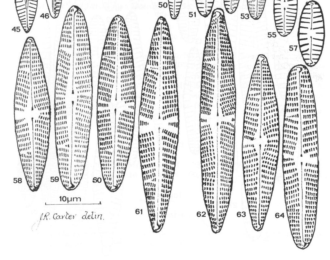 Navicula Eidrigiana Origimag1