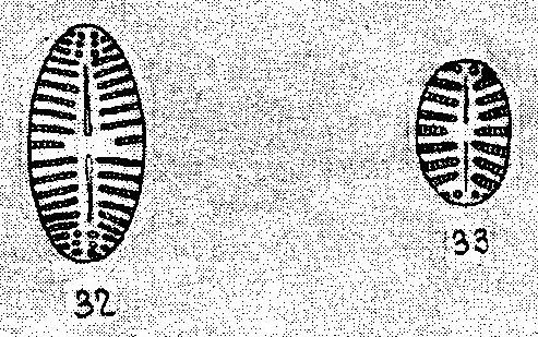 Navicula Cascadensis Origimag001