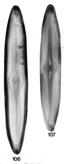 Piturfosiphila Original  Image