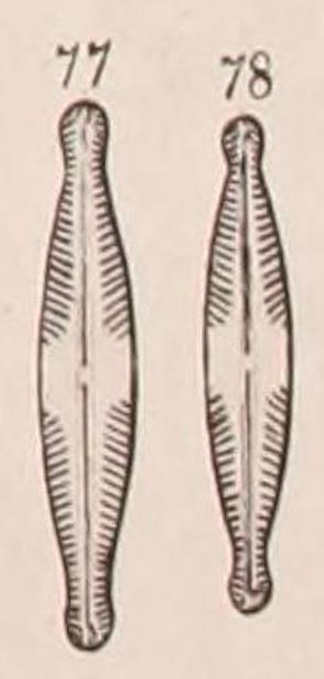 Pinnularia Brauniana Orig Illus
