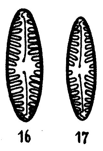 Pinnularia Borealis Lanceolata Origimag2002