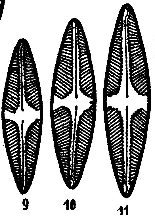 Pinnularia Suchlandtii Origimag1003