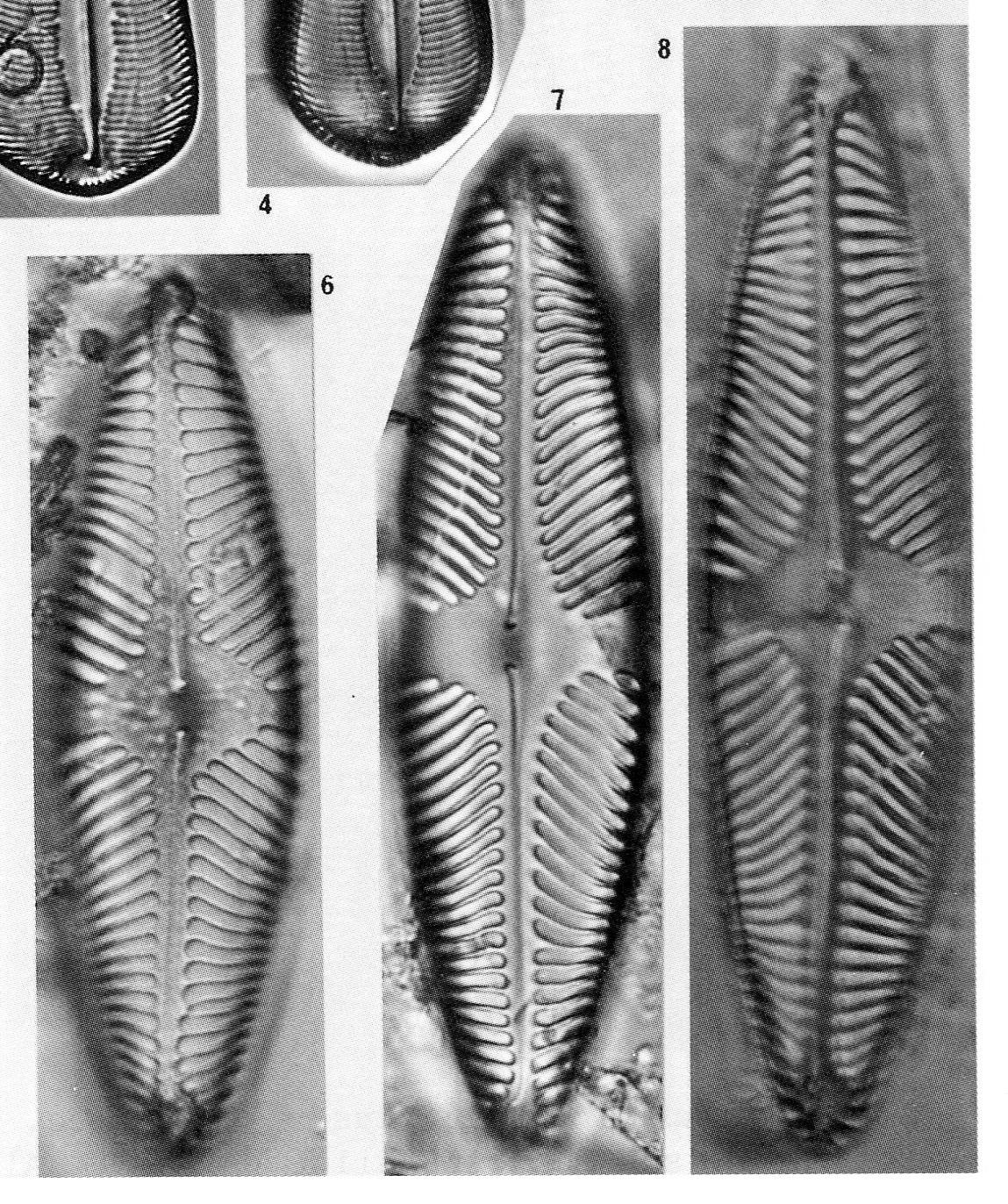 Pinnularia Suchlandtii Origimag2002