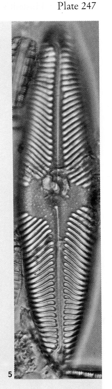 Pinnularia Suchlandtii Origimag3001