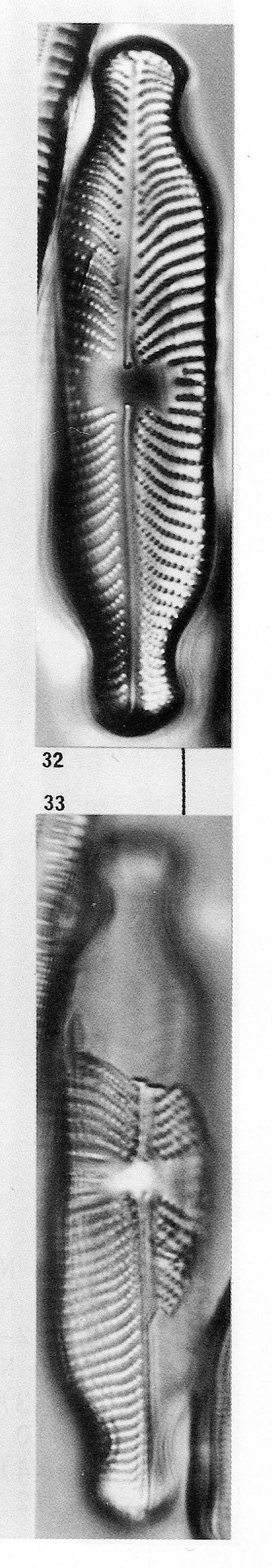 Placoneis Abiskoensis Origimag001