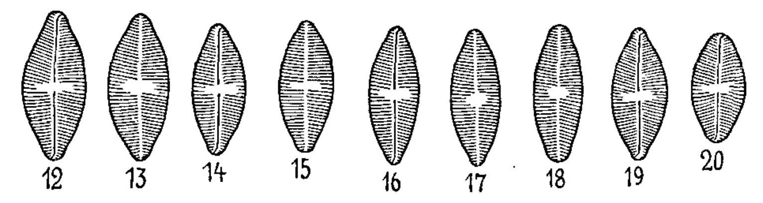 Psammothidium Rossii Orig Illus