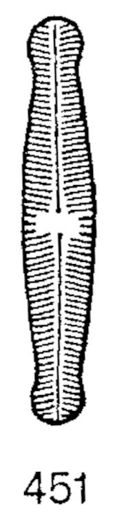 Navicula disjuncta orig illus