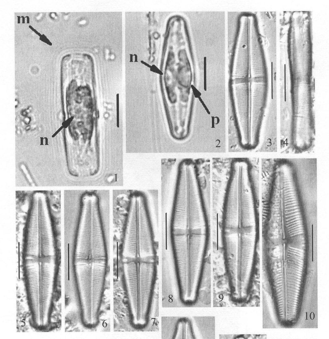 Staurophorabrantii Origimag1