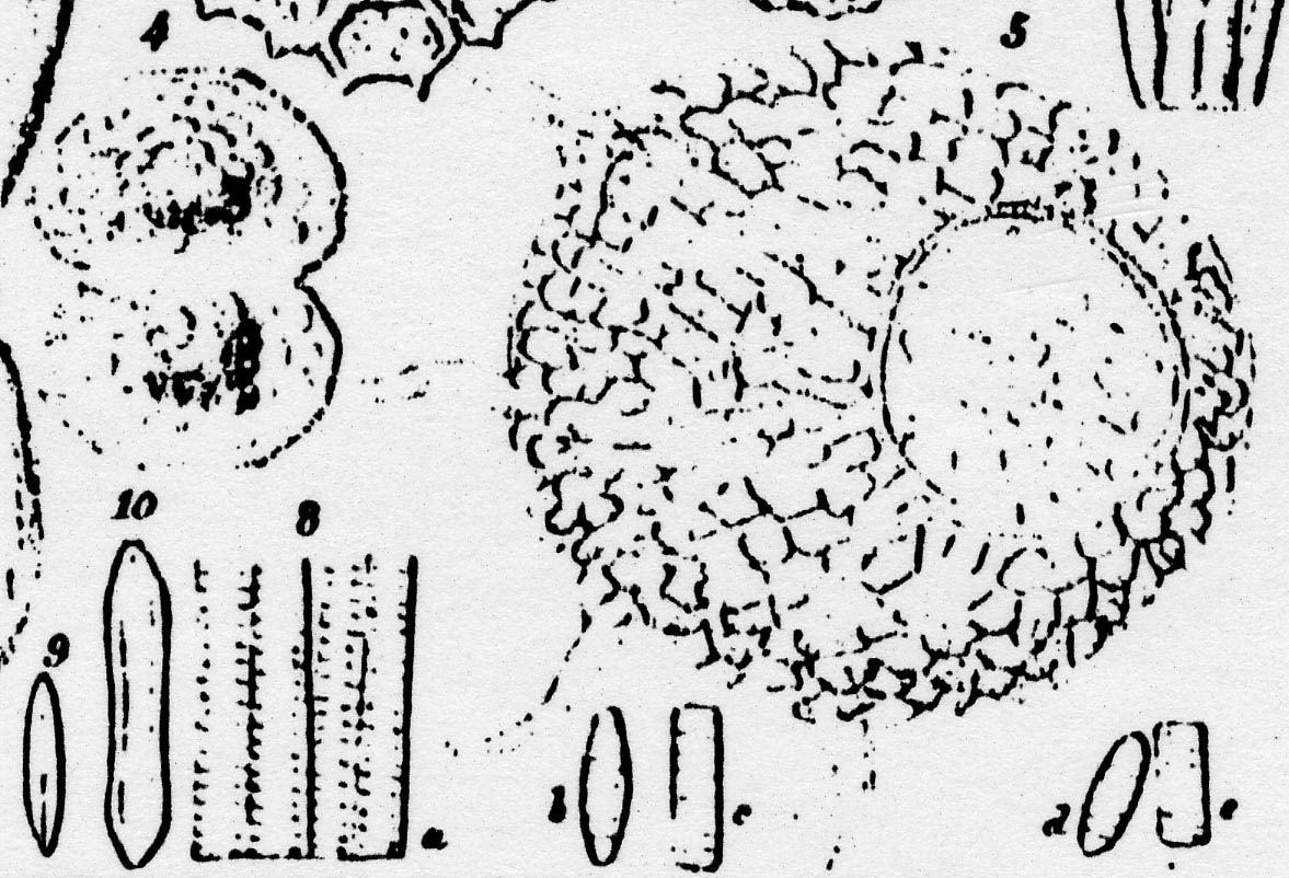 Staurosirella Pinnata  Iconotype