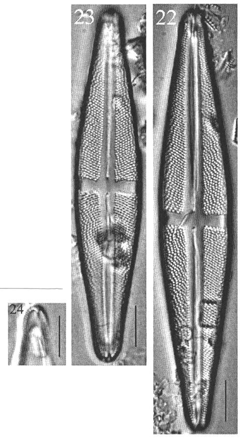 Staurosthompson Origimag