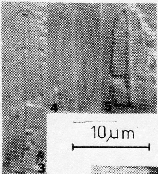Achnanthes anastasiae orig illus 2