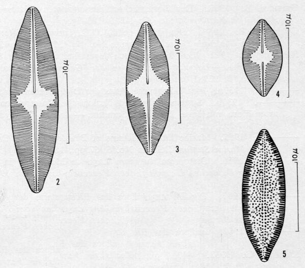 Achnanthes anastasiae orig illus